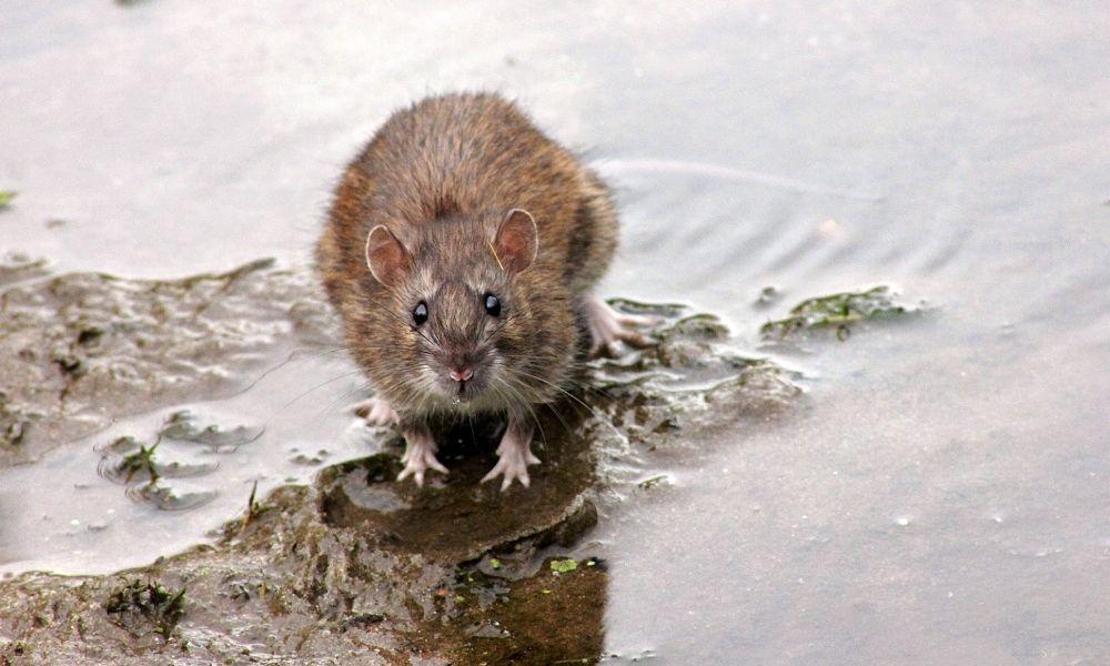 Denuncian una Plaga de Ratas en el municipio Madrileño de Boadilla del Monte