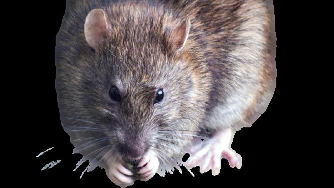 Sanidad Ambiental Ratas