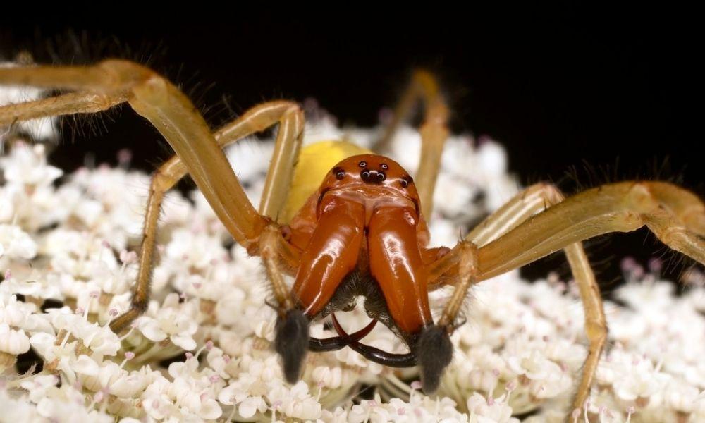 Araña de saco amarillo-Cheiracanthium punctorium