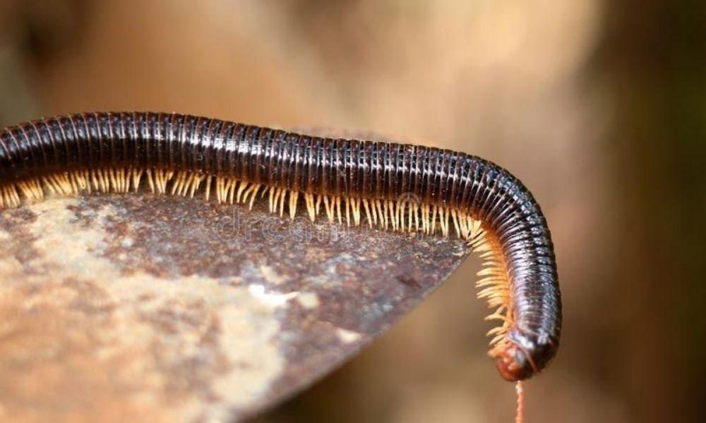 El milpiés o Diplopoda se convierte en un plaga urbana
