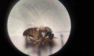 La mosca negra no da tregua a los vecinos de Villaverde